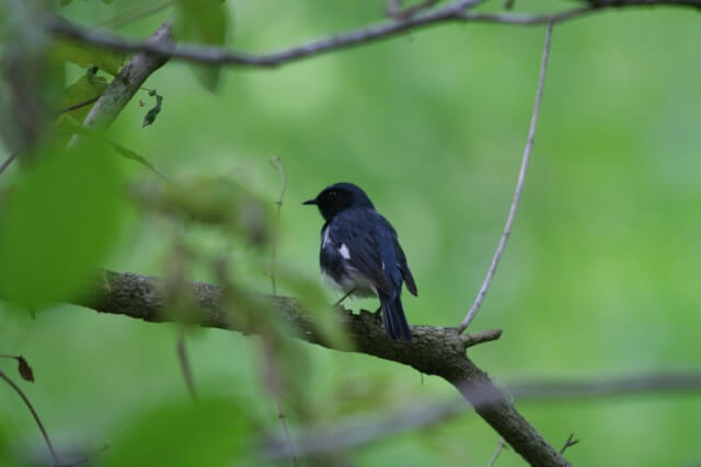 black bird with white breast and wingtips perched in a branch with green leaves around it