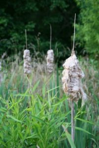 a photo of cattails gone to seed along the water's edge