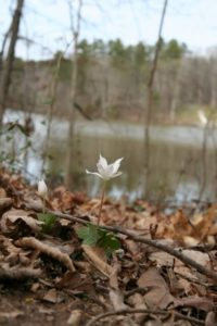 a small while early Spring flower blooming amongst dead fall leaves with the river and bare trees in the background