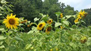 photo of tall sunflowers in a row in the Wildflower Meadow with the treeline as a backdrop