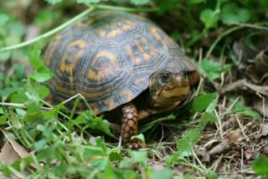 close up photo of a box turtle looking out of its shell in the grass and leaves