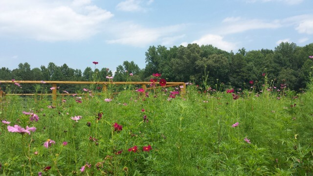 photo of cosmos and wildflower vegetation in the foreground, the Observation deck in the middle ground, and the treeline in the background with a bright blue sky